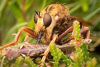 Hornet robberfly (Asilus crabroniformis) consuming a grasshopper. Arne, Dorset, UK.