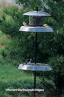 01640-02606 American Goldfinches (Carduelis tristis) & Rose-breasted Grosbeak at feeder, Marion Co.   IL