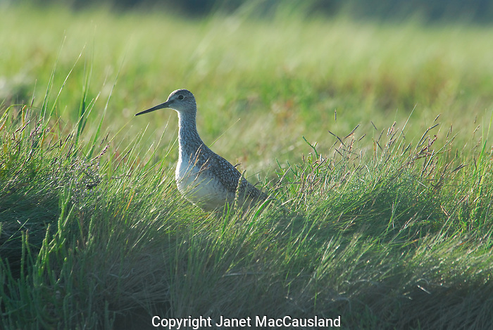Sandpiper in Cape Cod marsh