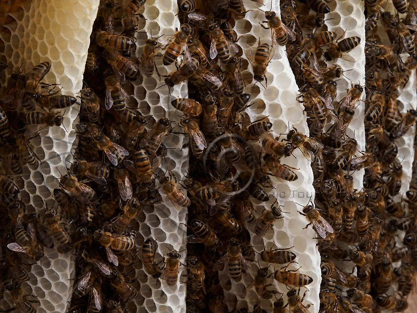The bees build parallel combs that allow for a better thermal regulation of the colony and the brood.<br /> Les abeilles construisent des rayons parall&egrave;les qui permettent une meilleure r&eacute;gulation thermique &agrave; la colonie et du couvain.