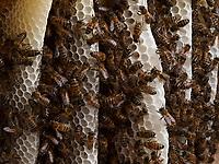 The bees build parallel combs that allow for a better thermal regulation of the colony and the brood.<br /> Les abeilles construisent des rayons parallèles qui permettent une meilleure régulation thermique à la colonie et du couvain.