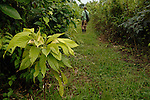 Rainforest cacao:  One- year-old cacao tree in a rainforest in southern Belize.  Farmer in background inspects his cacao trees -- they are interspersed with other vegetation.