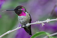 Male Anna's Hummingbird (Calypte anna) sticking tongue out while perched on garden flower.  California.  Fall.