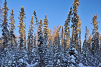 Black sruce trees (Picea mariana) in early monring light<br /> Ear Falls<br /> Ontario<br /> Canada