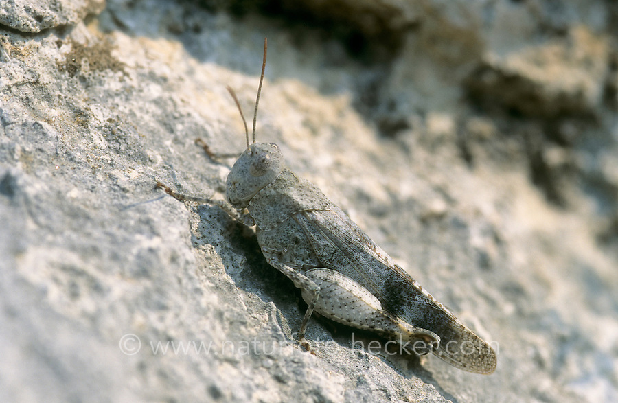 Rotflügelige Ödlandschrecke, Rotflüglige Ödlandschrecke, Weibchen, Oedipoda germanica, Red-winged Grasshopper, red winged grasshopper, female