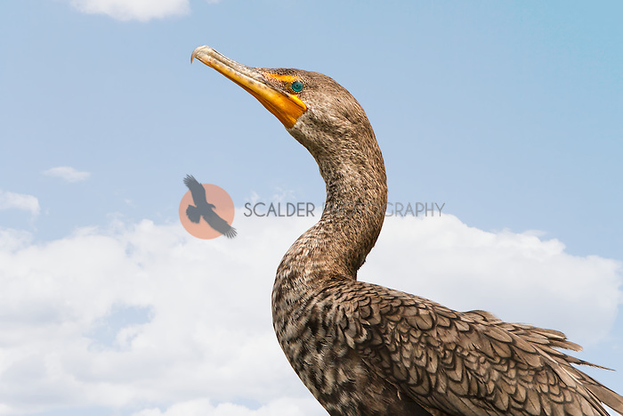 Double-Crested Cormorant in breeding colors against sky