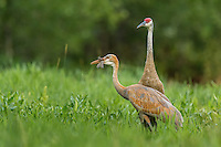 Sandhill crane feeding on a red-winged blackbird