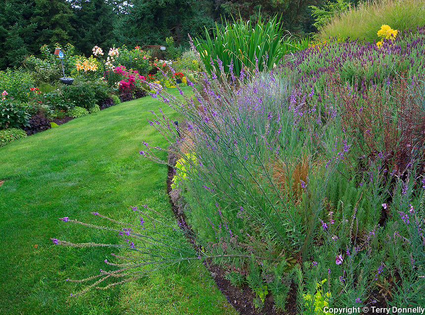Vashon-Maury Island, WA<br /> Driscoll garden, flowering hillside slopes to a curving lawn pathway