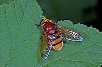 Große Waldschwebfliege, Grosse Wald-Schwebfliege, Hornissenschwebfliege, Hornissen-Schwebfliege, Riesen-Hummelschwebfliege, imitiert das Aussehen von Hornissen, um Schutz vor Fressfeinden zu haben, Tarnung, Mimikry, Volucella zonaria, Volucella zonalis, hornet mimic hoverfly, Camouflage, Mimese, mimesis