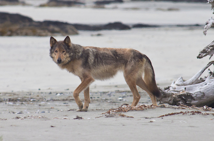 Vancouver Island wolf, Canis lupus crassodon, engangered subspecies of the grey wolf, Rugged Point, Kyuquot Sound, Vancouver Island, British Columbia, Canada,