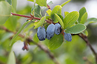 Blaue Heckenkirsche, Blaue Doppelbeere, Lonicera caerulea, Blue-berried Honeysuckle, Sweetberry Honeysuckl, honeyberry, haskap berry, deepblue honeysuckle, Le chèvrefeuille bleu