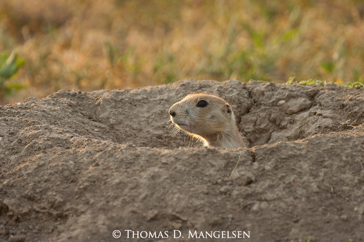A black-tailed prairie dog, looks out of its burrow in Custer State Park, South Dakota.