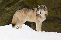 Tundra Wolf looking off into the distance while standing in the snow - CA
