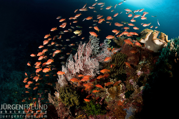 Fairy basslets or anthias in the reef.