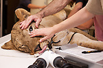 Lioness Kya gets a general exam at the Oregon Zoo before being released into her exhibit at Predators of the Serengeti for the first time. © Carli Davidson/ Oregon Zoo