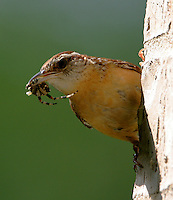 Carolina wren with spider. Bird was feeding babies in nest out of sight to left on our back porch.