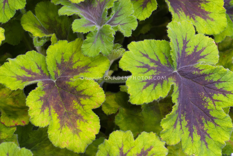 Chocolate Mint Scented Geranium leaves | Plant & Flower ...