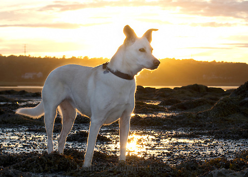 Lacy the white dog at Littlejohn Island Preserve in prodigious mud as it comes on dusk with the setting sun