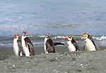 Royal penguins, Macquarie Island, Australia