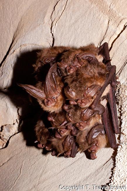 Virginia big-eared bats (Corynorhinus townsendii virginianus)
