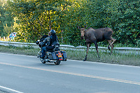 Cow moose crosses road as motorcyle rides by in Anchorage. Alaska  Summer<br /> <br /> Photo by Jeff Schultz/SchultzPhoto.com  (C) 2018  ALL RIGHTS RESERVED  Thurmer Tours Photo Tour  June, 2018 Alaska