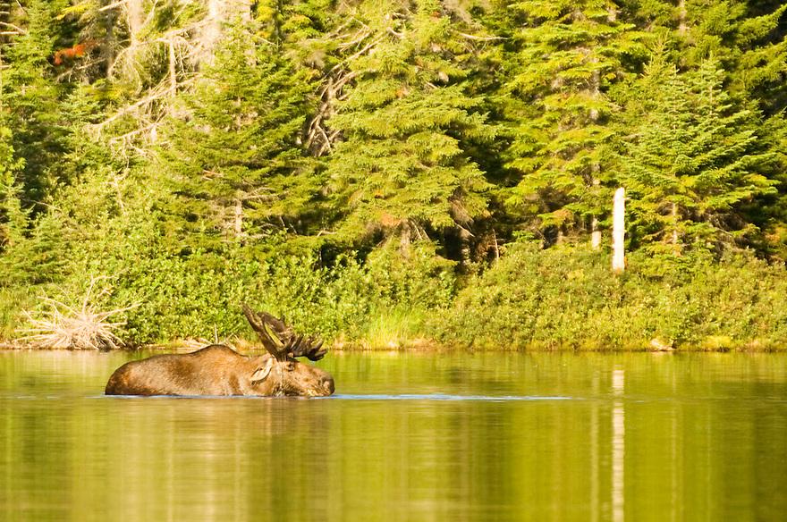 A bull moose still in velvet makes an appearance in Sandy Stream Pond.