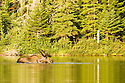 A bull moose still in velvet makes an appearance in Sandy Stream Pond.