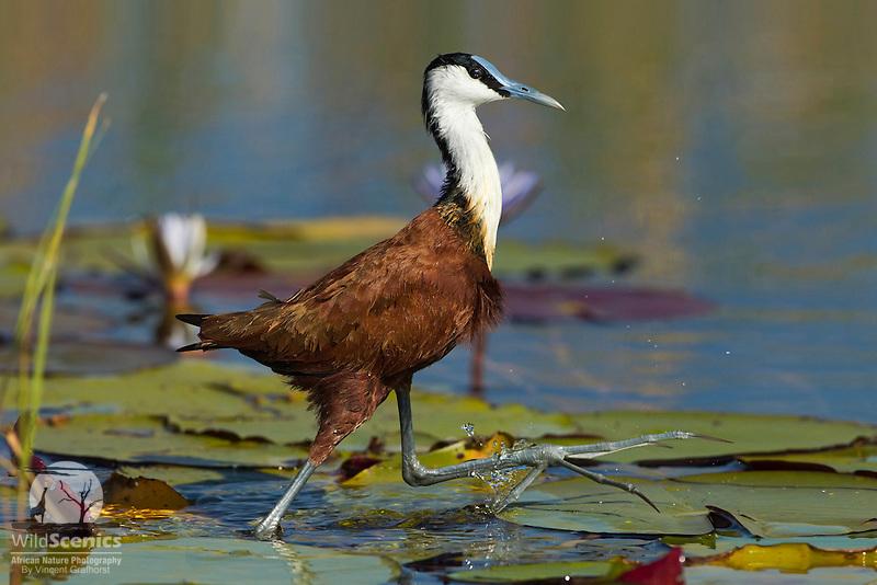 African Jacana, a.k.a. a 'Jesus Bird', 'walking' over water.