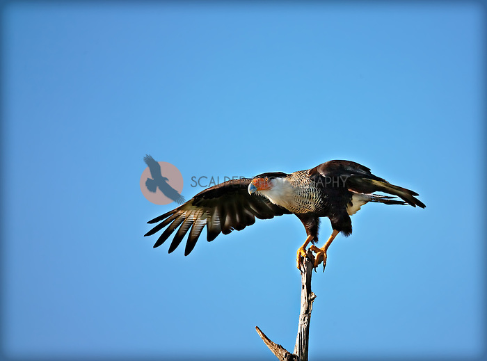 Crested Caracara landing on a dead tree