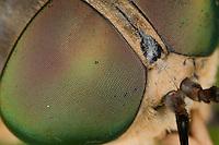 Rinder-Bremse, Rinderbremse, Rinder - Bremse, Tabanus bovinus, Facettenauge, large horsefly