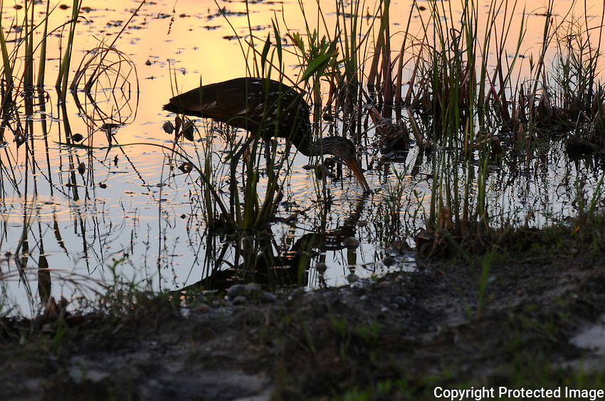 Sunset reveals a Limpkin foraging for food at Green Cay Wetlands, Boynton Beach, Florida.