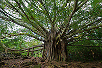 A beautiful large banyan tree on the road to Hana, Maui.