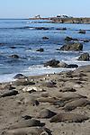 Piedras Blancas, San Simeon, CA.  Elephant seals by Frank Balthis