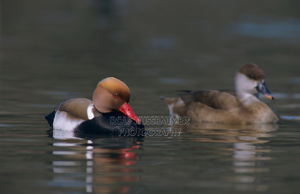Red-crested Pochard, Netta rufina, pair, Luzern, Switzerland, Europe