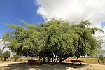 A Jujube tree by Nahal Sorek in the Shephelah