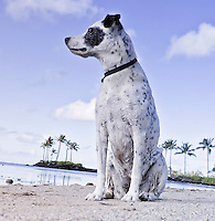 Zelda, a rescue dog, gazing at the horizon on the beach at Maunalua Bay, Oahu, Hawaii.