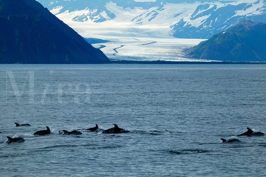 Pacific White-sided Dolphin in front of Bear Glacier, Kenai Fjords National Park, Alaska
