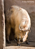 0603-1103  Takin (Goat Antelope), Budorcas taxicolor  © David Kuhn/Dwight Kuhn Photography