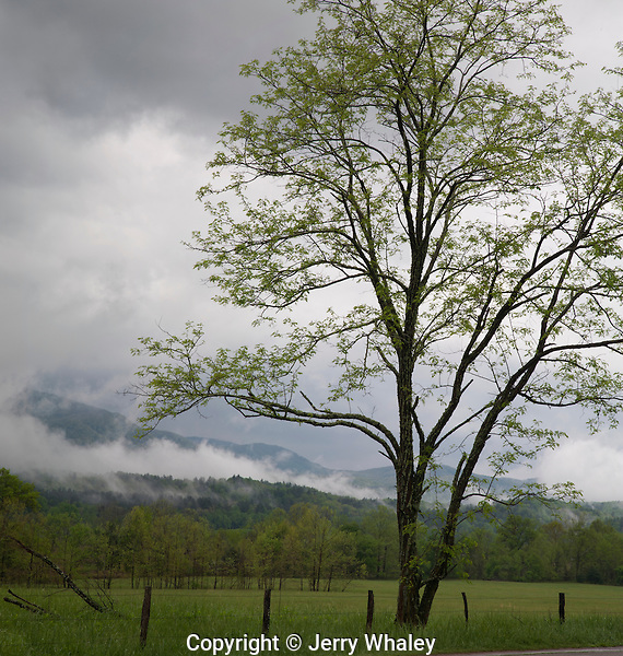 Tree, Spring, Cades Cove, Great Smoky Mountains NP, TN