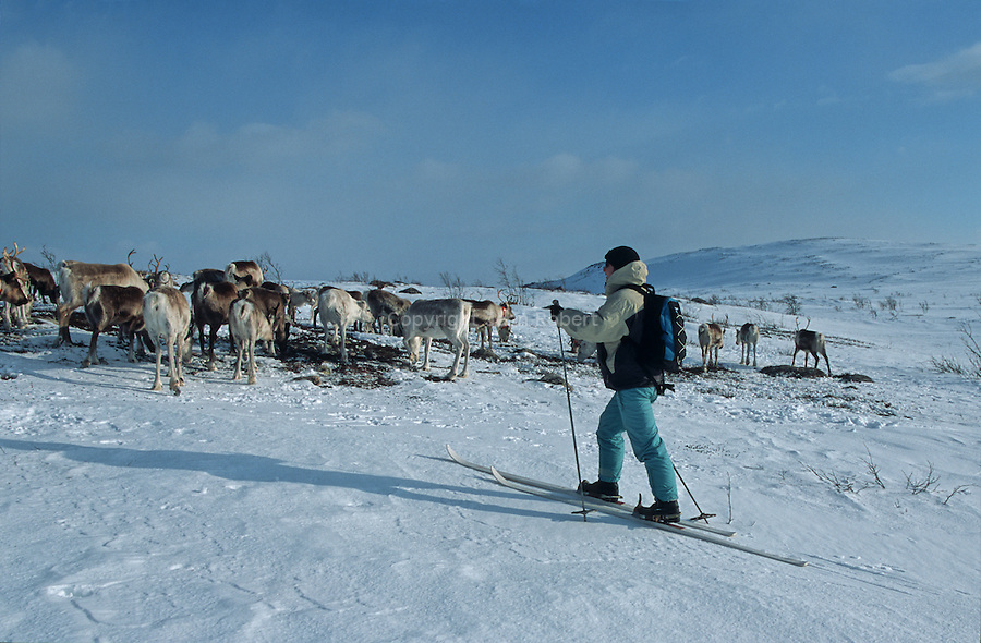 Once, Sami used to follow their herds on ski with sledges pulled by harness reindeers. Nowadays, snowmobile has become the indispensable tool. But the Sami always take a paire of skis on their saddles. In case the machine would get stuck or if the snow became too deep....Reindeer migration from Gallivare to the national parks of  Sarek and Stora Sjôfallet, 200 km west. Lapland, Sapmi, north of Sweden..
