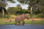 Elephant, Loxodonta africana, with waterbuck, Kobus ellipsiprymnus, at water, Kruger National park, Mpumalanga, South Africa