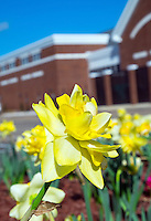 Campus daffodil detail near the Fresh Food Company.<br />