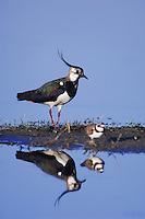 Northern Lapwing, Vanellus vanellus, male with Little Ringed Plover, National Park Lake Neusiedl, Burgenland, Austria, April 2007