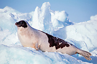 male adult harp seal, Pagophilus groenlandica, Magdalen Islands, Quebec, Canada, Atlantic Ocean