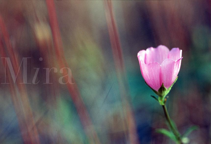 Close up of a Checkermallow blossom. Oregon.
