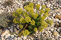 Euphorbia helioscopia,  Sun Spurge, growing wild on the Island  Rab, Craotia