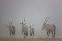 Namibia;  Namib Desert, Huab River, Skeleton Coast oryx antelope (Oryx gazella), group in fog