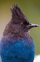 Crows, Ravens, Magpies & Jays