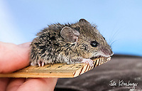 Salt Marsh Harvest Mouse Surveys: Count, Weigh, Measure, Release