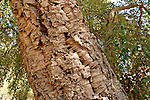 Israel, Sharon region. Cork Oak (Querqus suber) in Ilanot ...